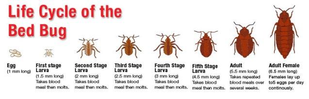 bedbug_cycle